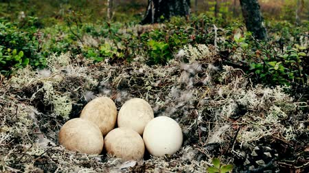 egg laying : Unusual for geese nest in forest. Forest-breeding bean goose (Anser fabalis fabalis) nest is arranged in old pine forest on top of moraine among white deer moss. Lapland Stock Footage