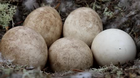egg laying : Unusual for geese nest in forest. Forest-breeding bean goose (Anser fabalis fabalis) nest is arranged in old pine forest. Lapland Stock Footage