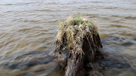 reproductive biology : Birds nests guide. Amazing Seagull (Common Gull, Larus canus) nest on a stump that stands in the water Stock Footage