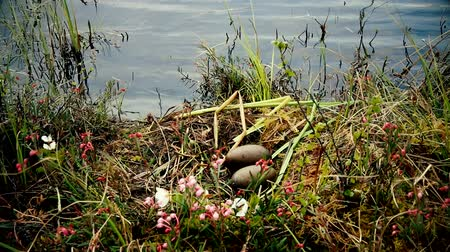egg laying : Birds nests guide. Nest of Red-throated Loon (Gavia stellata) on swampy lake. Nest at waters edge, surrounded by flowering cloudberry (Rubus chamaemorus), bog rosemary (Andromeda polifolia). Lapland