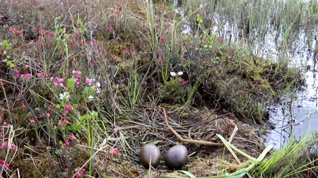 waters : Birds nests guide. Nest of Red-throated Loon (Gavia stellata) on swampy lake. Nest at waters edge, surrounded by flowering cloudberry (Rubus chamaemorus), bog rosemary (Andromeda polifolia). Lapland
