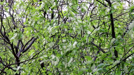 bird ecology : Spring in the North. Bird cherry (Glossy Black Chokecherry, Prunus padus) blossoms profusely in the city on rainy days, so-called foam of white flowers, springtide