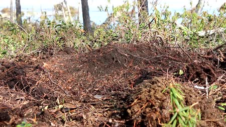 public worker : Dense cluster of red forest ants. The brown Bear unearthed the anthill and ate the ants and larvae. The remaining ants to urgently fix your house