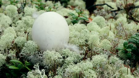 arctic tundra : Guide to bird nests. The egg of the wild goose (Bean goose, Anser fabalis) lies on the carpet of white elegant deer moss in the pine forest. Stock Footage
