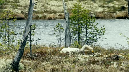 kavrama : Whooper swan (Cygnus cygnus) nests on a small island among the pine forests of Lapland. The clucking hen incubates the eggs and occasionally corrects the nest using raindeer moss