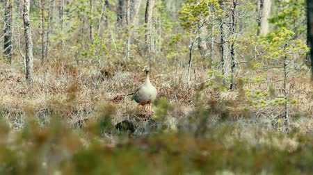 stěhovavý : Forest-breeding bean goose (Anser fabalis fabalis) subspecies. This goose is easy to penetrate into the woods, which is unusual for other lowland geese species. This bird feeds on small forest swamp Dostupné videozáznamy