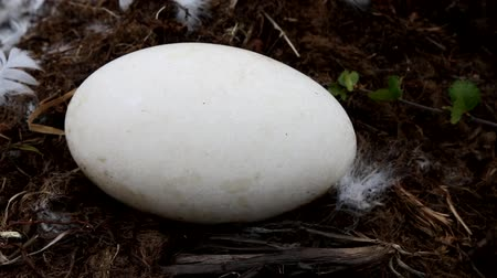 bird learning : Nests guide. A huge egg of Whooper swan (Cygnus cygnus) is shot on the edge of the nest with Swans down