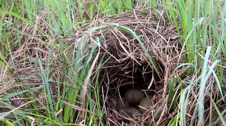 bird learning : Nest guide. The nest of a tufted duck (Aythya fuligula) under a canopy of dry sedge on the swamp island. Lapland