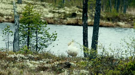sutil : Swan on the shore of a forest lake cleans feathers (prink). Lapland
