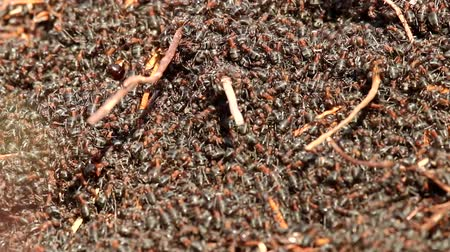 anthills : A huge mass of red forest ants swarming on the surface of the anthill. Moving carpet of insects
