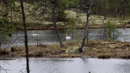 necked : A pair of whooper swans on a remote forest lake. These swans often nest in the taiga. Lapland