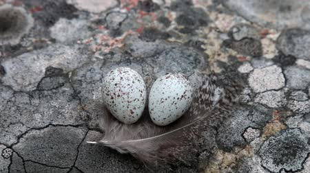 kavrama : Guide to bird nests. The white Wagtails nest (Motacilla alba) Tiny eggs lies on geographical lichen (Rhizocarpon geographicum, gray) background on a feather of black grouse