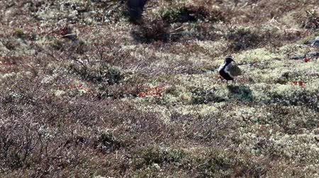 arctic bird : golden plover (Pluvialis apricaria) in the mountain tundra, in mating plumage bird, spring, strong wind Stock Footage