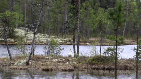 necked : Swan on the shore of a forest lake. Lapland