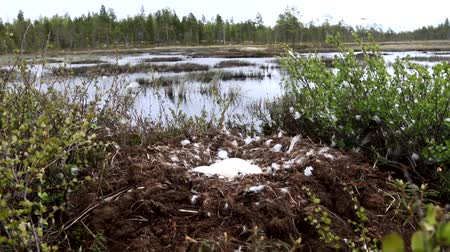 bird ecology : Birds nests guide. Whooper swan (Cygnus cygnus) moss nest on the marsh island is surrounded by dwarf birch, lot of down and four large eggs. Severe Lapland. Wiring camera from nest to waters edge