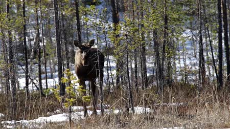 alce : Young elk in pine forest in spring. Remains of snow drifts on Northern slope of hill in background. For young mooses characterized in that time dispersion (migration). Lapland, Scandinavia