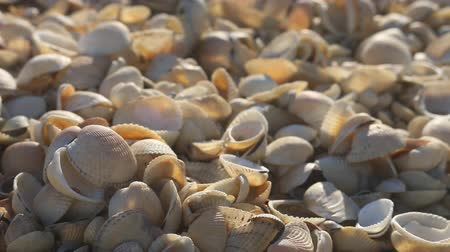 necked : Nice-looking shell beach on Black sea (Crimea) with bright shells cockle, mussels, Venus clam, inflated ark, long-necked clams and so on. Prevails cockle (Cardium). Botticelli depicted Venus in cockle Stock Footage