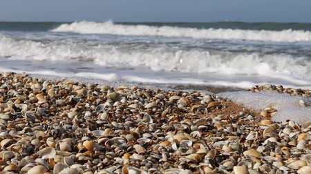 krym : Nice-looking shell beach on Black sea (Crimea) with bright shells cockle, mussels, Venus clam, inflated ark, long-necked clams and so on. Prevails cockle (Cardium). Botticelli depicted Venus in cockle Wideo