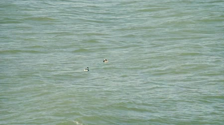 necked : Two black-necked grebe (Podiceps caspicus) on wintering (winter plumage) place on the Black sea in Crimea Stock Footage