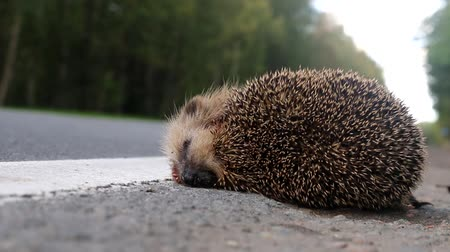 bionomics : The unfortunate hedgehog is hit on the road by a car. Car as the cause of death of a huge number of mammals: the greater the speed the more victims Stock Footage