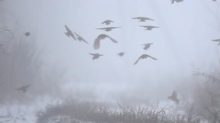 ot : Birds slowly fly away in winter dense fog among bare forest. The mood of homelessness and cold. Tree sparrow (Passer montanus) in the wild natural habitat. Super slow motion 1000 fps