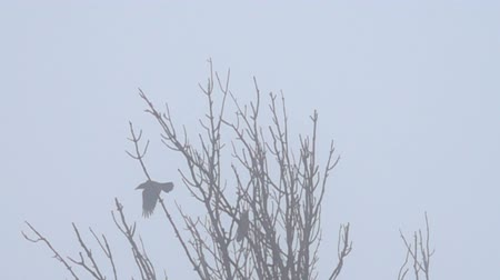 presa : The flight of a bird. The crow starts from the tree on a foggy day. Super slow motion 1000 fps Vídeos