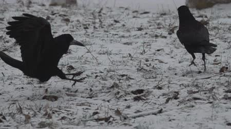 ладья : Fantastic dance of black birds on a snow-covered meadow, ceremonial dance, ritual behavior. The behavior of the rooks. Super slow motion 1000 fps