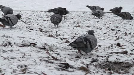 rock dove : The blue dove walks on the snow-covered lawn. As pigeons walk. Super slow motion 1000 fps Stock Footage