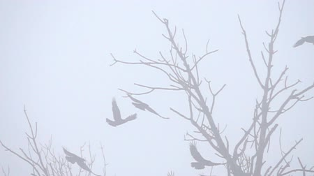 synanthropic animals : Winter, bare tree branches, flying black birds in the fog. Winter is a dreary mood of overcoming (seasonal affective disorder, winter blues). Rooks. Super slow motion 1000 fps