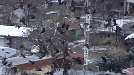corvus frugilegus : Fascinating picture. Large flock of black birds flying over the village, birds eye view. Splendor of bird flight in slow vision. Flock of rooks. Super slow motion 1000 fps