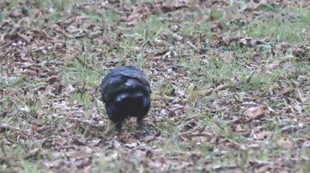 synanthropic animals : Eurasian rook (Corvus frugilegus) digs into the fallen leaves with its bill in search of food, primarily earthworms and fruits (acorns, nuts, etc.). Super slow motion 1000 fps