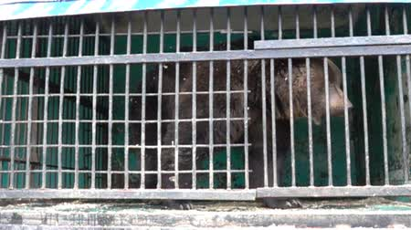 bem estar : Big Brown bear in a small cage with thick bars, captive animals. Horrible conditions of animals in little zoos of Asian, animal welfare activity. Super slow motion 1000 fps