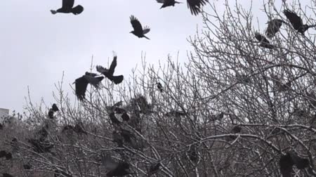synanthropic animals : Rooks during the winter in the temperate zone. A flock of rooks sits on fruit (nut) trees to look for walnuts on ground. Super slow motion 1000 fps