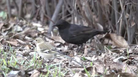 synanthropic animals : Unique and funny picture thanks to slow-motion shot. Blackbird male digging in dry leaves searching for food, grabs with bill, swings to side. Leaves flying as explosion. Super slow motion 1000 fps Stock Footage