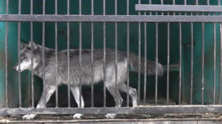 bonds : Horrible conditions of animals in little zoos of Asian. Wolf in a cage in a state of prostration, not that does not pay attention, circus rhythm. Super slow motion 1000 fps