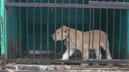 hapsedilme : Lion cub is not free in small cages with terrible conditions. Big wild cats behind bars. Super slow motion 1000 fps