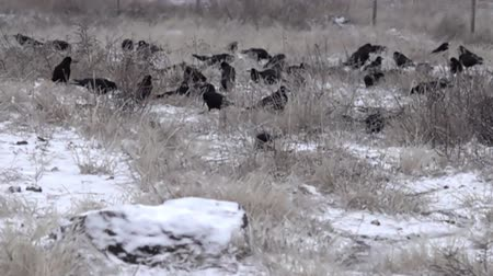 synanthropic animals : Rooks during the winter. A flock of rooks fed on a snow-covered fallow field. Super slow motion 1000 fps