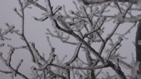 rampouch : Tree branch covered with ice, silver thaw. Natural disaster in form of ice rain came to southern region of Eastern Europe. Beautiful full-scale glaciation all around, be frozen in Dostupné videozáznamy