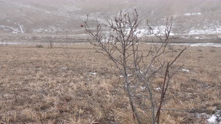rosehip : Rosehip Bush (brere, wild rose) without leaves with dry fruits in the wind on the foothills on a winter day with the first snow, cold fog, cold snap Stock Footage