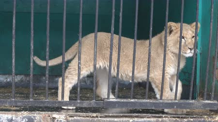 presa : Lion cub is not free in small cages with terrible conditions. Big wild cats behind bars