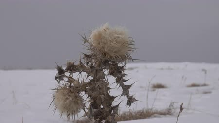 temperada : Snow-covered Prairie, dry grass. Picture of winter dying and only Thistle stands in its prickly grandeur. Bristlethistle (Carduus), emblem of Scotland. Biblical concept of abomination of desolation Stock Footage
