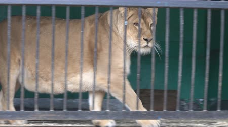 hapsedilme : Lions are not free in small cages with terrible conditions. Big wild cats behind bars
