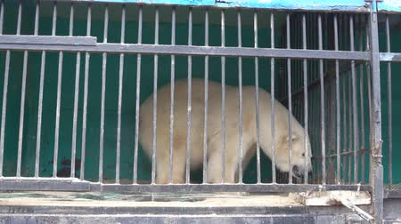 brute : Polar bear in a small cage with thick bars, captive animals. Horrible conditions of animals in little zoos of Asian, animal welfare activity.