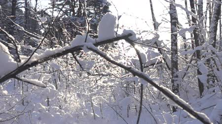 сибирский : Snow falls from trees and bushes in thaw, flaking. Snowcaps, lumps of snow and snowflakes slowly pour in sun. Back light. Super slow motion 1000 fps