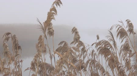 수의 : The reed panicles are filled with moisture and drops of rain on the banks of the misty river. Winter silent river, crude weather