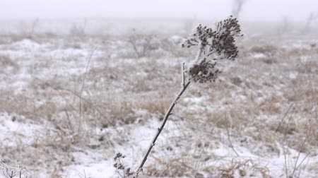 prairie : Winter Prairie with dry vegetation, snow, fogg and frost