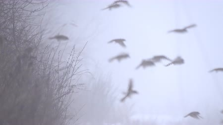 ot : Birds literally fall from the sky on a foggy winter day. Flock of Tree Sparrow Stok Video