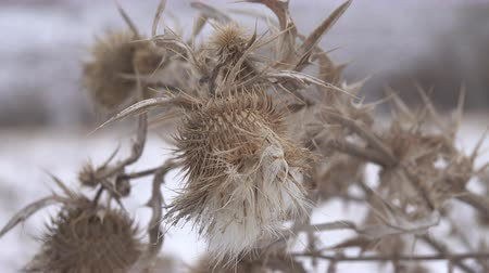 décoller : Terrible thistles bristling with thorns, the symbol of chivalry. Dry winter plants close up