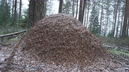 formicidae : Winter ant hill of red forest ants (Formica rufa). A large hill built of pine needles in the North boreal forest