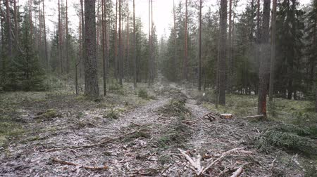 csökkenti a : Improvement cutting in the natural pine forest. Natural forest suffers from economic activity, timber industry. Cleared forest reduces biodiversity